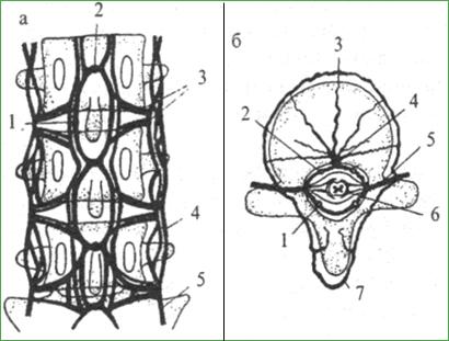 Венозная система позвоночника и спинного мозга